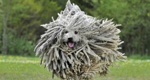Chú chó đáng yêu Puli có khuôn mặt giống hệt chổi lau nhà vô cùng dễ thương